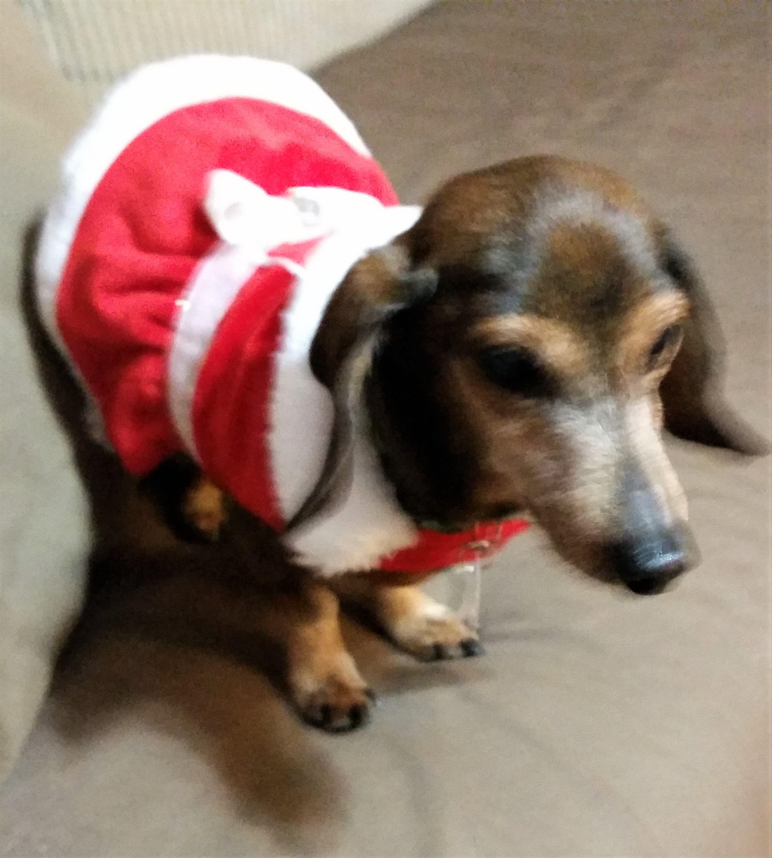 Dachshund dog for Adoption in Lewisburg, TN. ADN752319 on