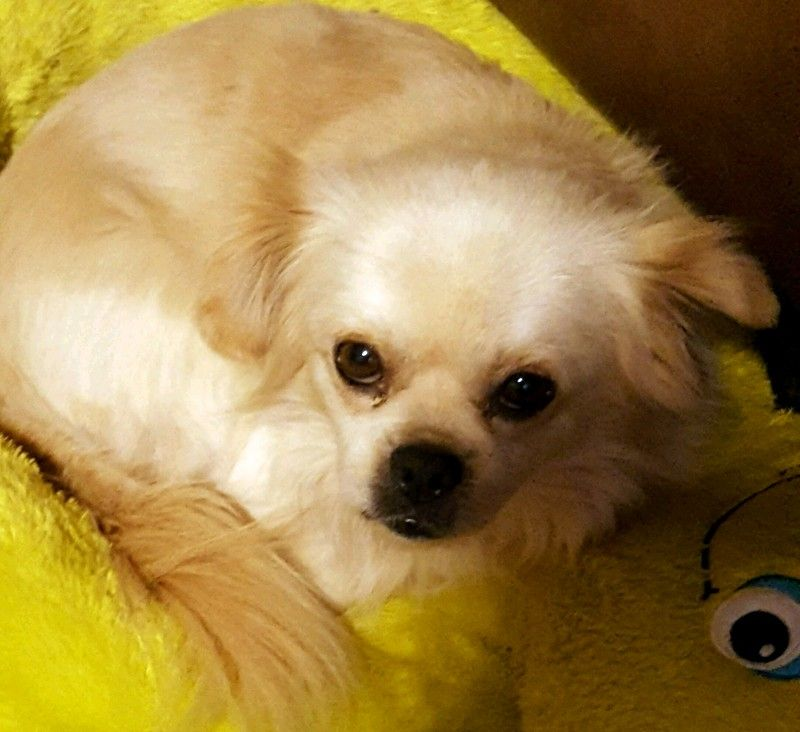 Pominese Dog For Adoption In Conway Ar Adn 424186 On Puppyfinder Com Gender Male Age Adult Dog Adoption Adoption Dogs