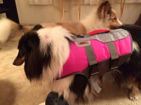 Sheltie with a life vest