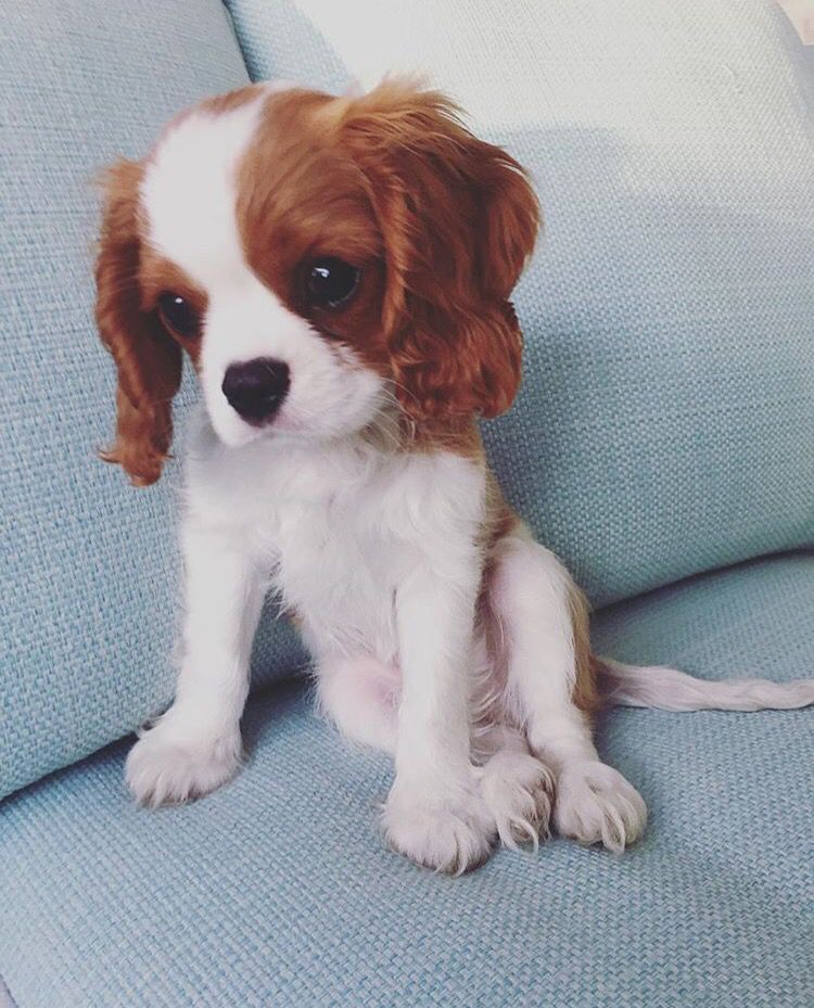 Winston The Cavalier King Charles Spaniel Puppy Ckcs Cavalier King Charles Dog Cavalier King Charles King Charles Dog