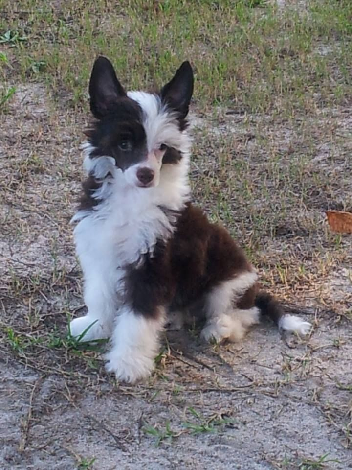 Pin by Lisa Richards on Chinese cresteds Chinese crested