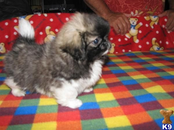 Griffonese Ckc Registered Female Pekingese Puppies For Sale