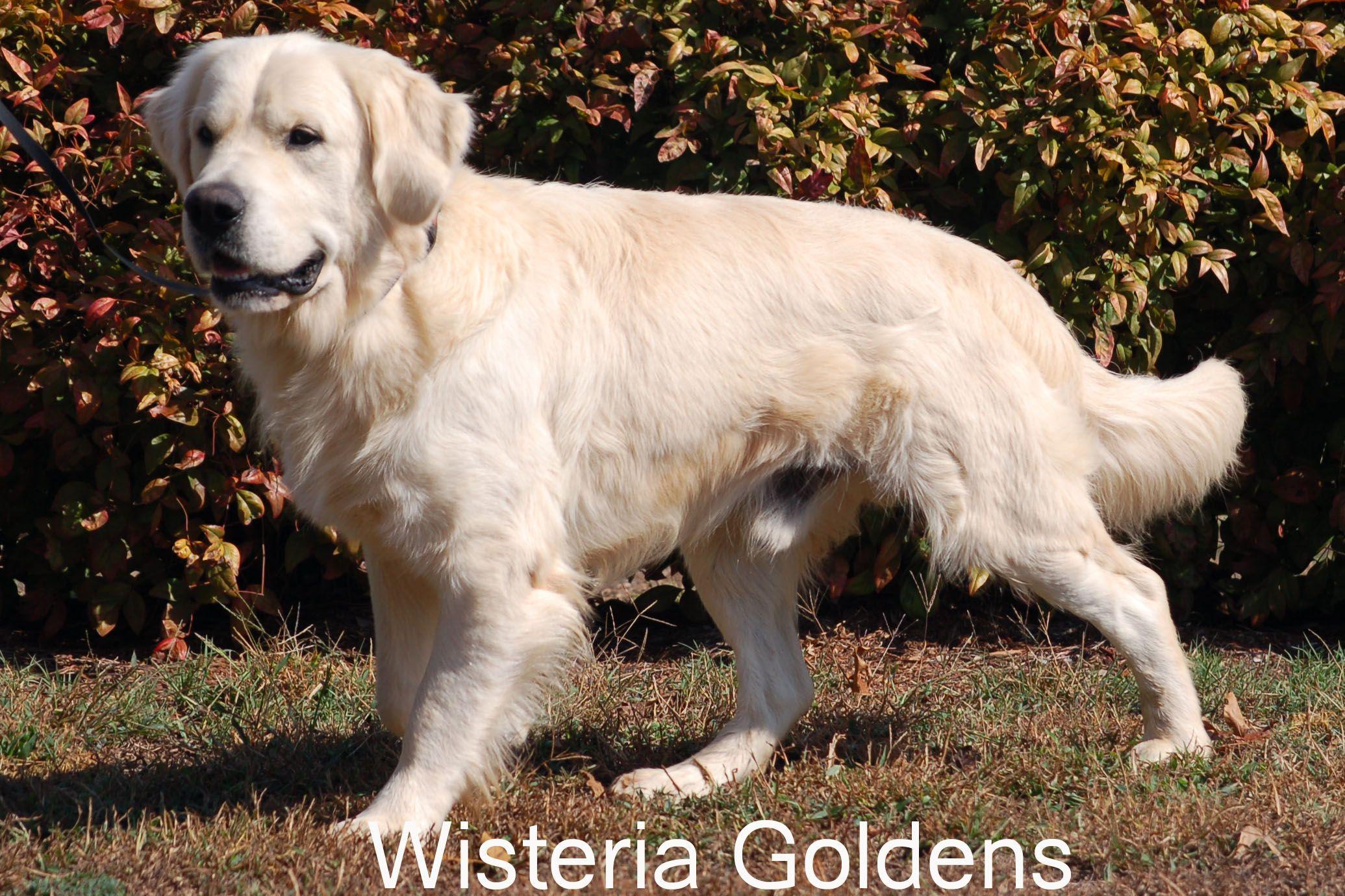 Thor English Golden Dogs Golden Retriever Thor Dogs