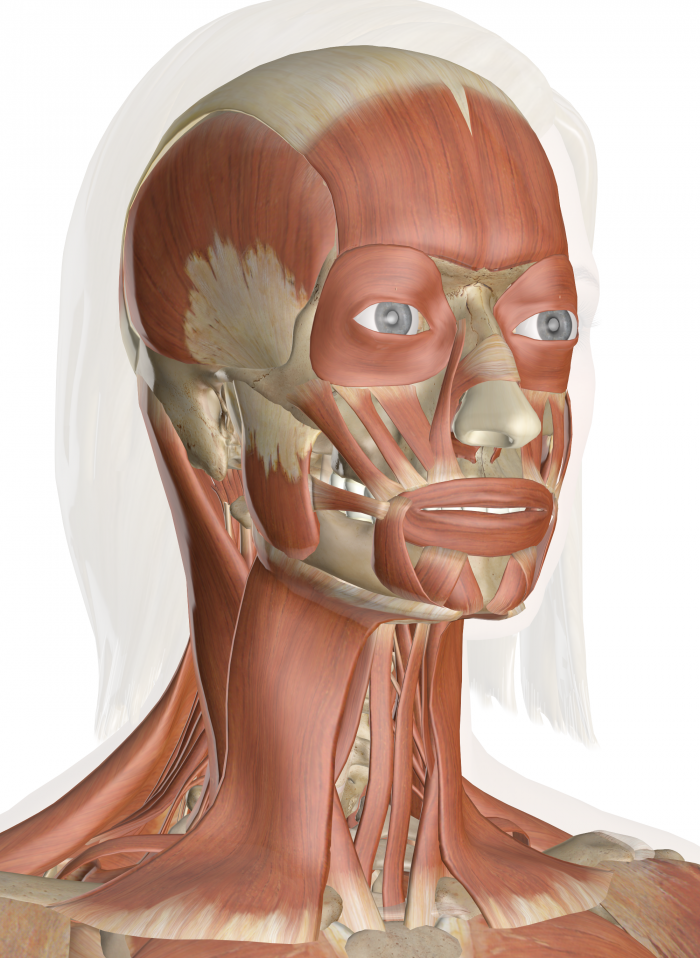 Interactive Website for the Muscles of the Head and Neck! | For My ...