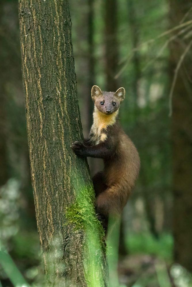 Martes Martes Forum Fur Naturfotografen Wilde Tiere Seltene Tiere Susseste Haustiere