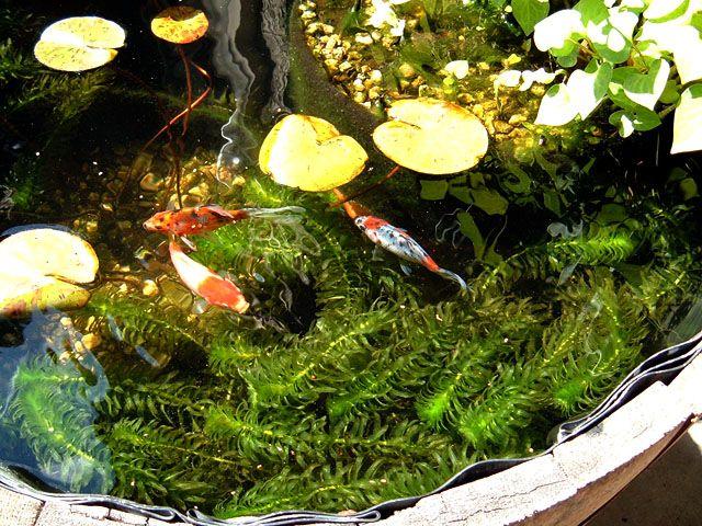 Half Barrel Pond barrel fish pond Pinterest Estanques