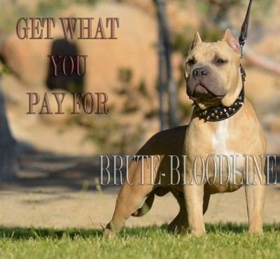 My Lil Guy John Wayne At 6 Months Brute Bloodline American Bully Pitbulls Www Brutedynastykennel Com Pitbulls Bully Pitbull Pitbull Puppies