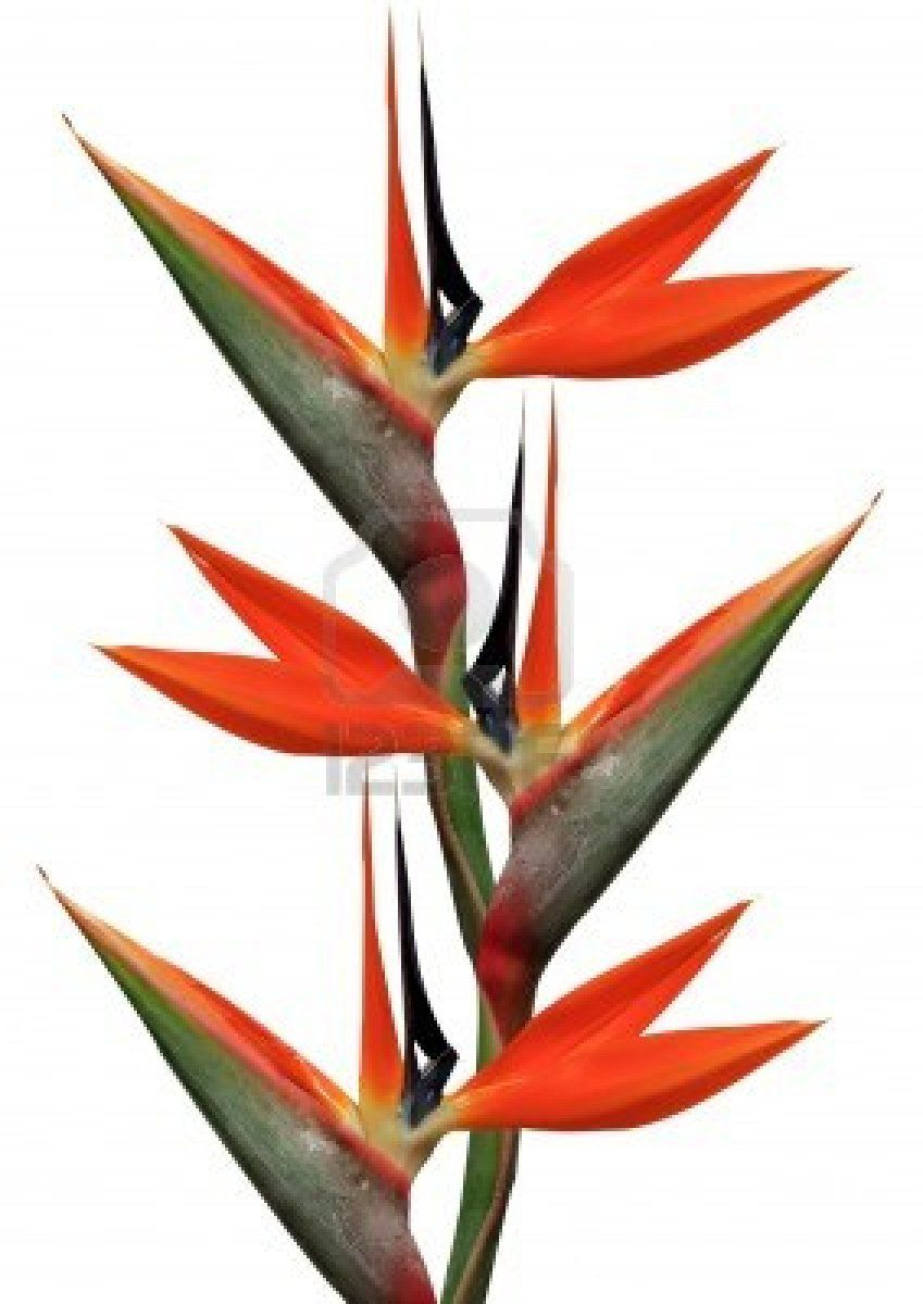 Bird Of Paradise Flowers On A White Background Paradise Flowers Birds Of Paradise Birds Of Paradise Flower