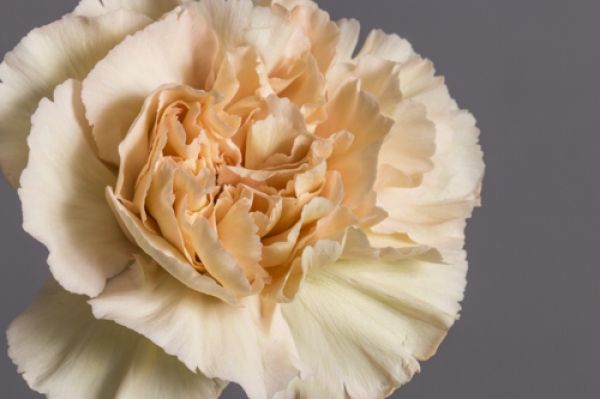 The Putumayo Carnation Is A Gorgeous Champagne Colored Carnation Grown In Ecuadorian Soil By Royal Flowers Ecuador Features High Carnations Flowers Putumayo
