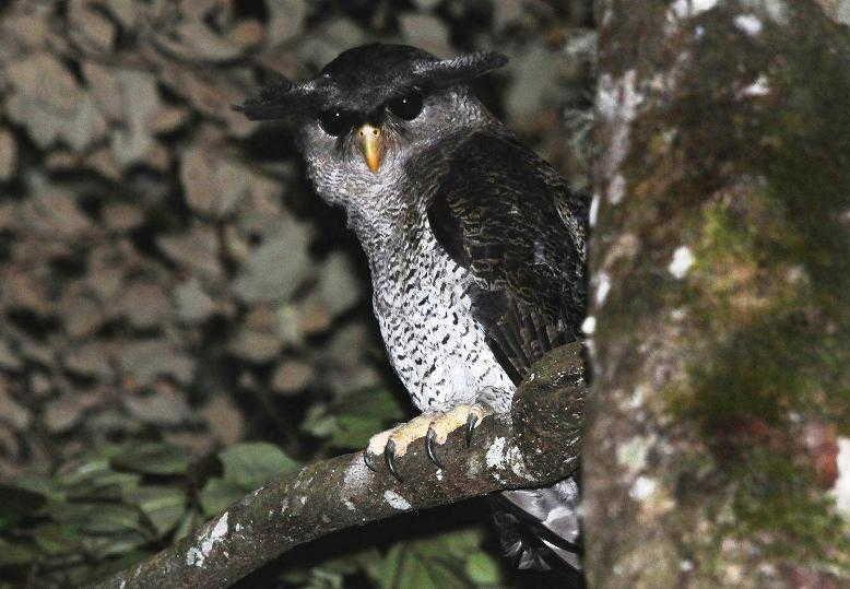 Burung Hantu Celepuk Jampuk Hingkik Bubo Sumatranus Boneka Burung Hantu Burung Hantu Burung