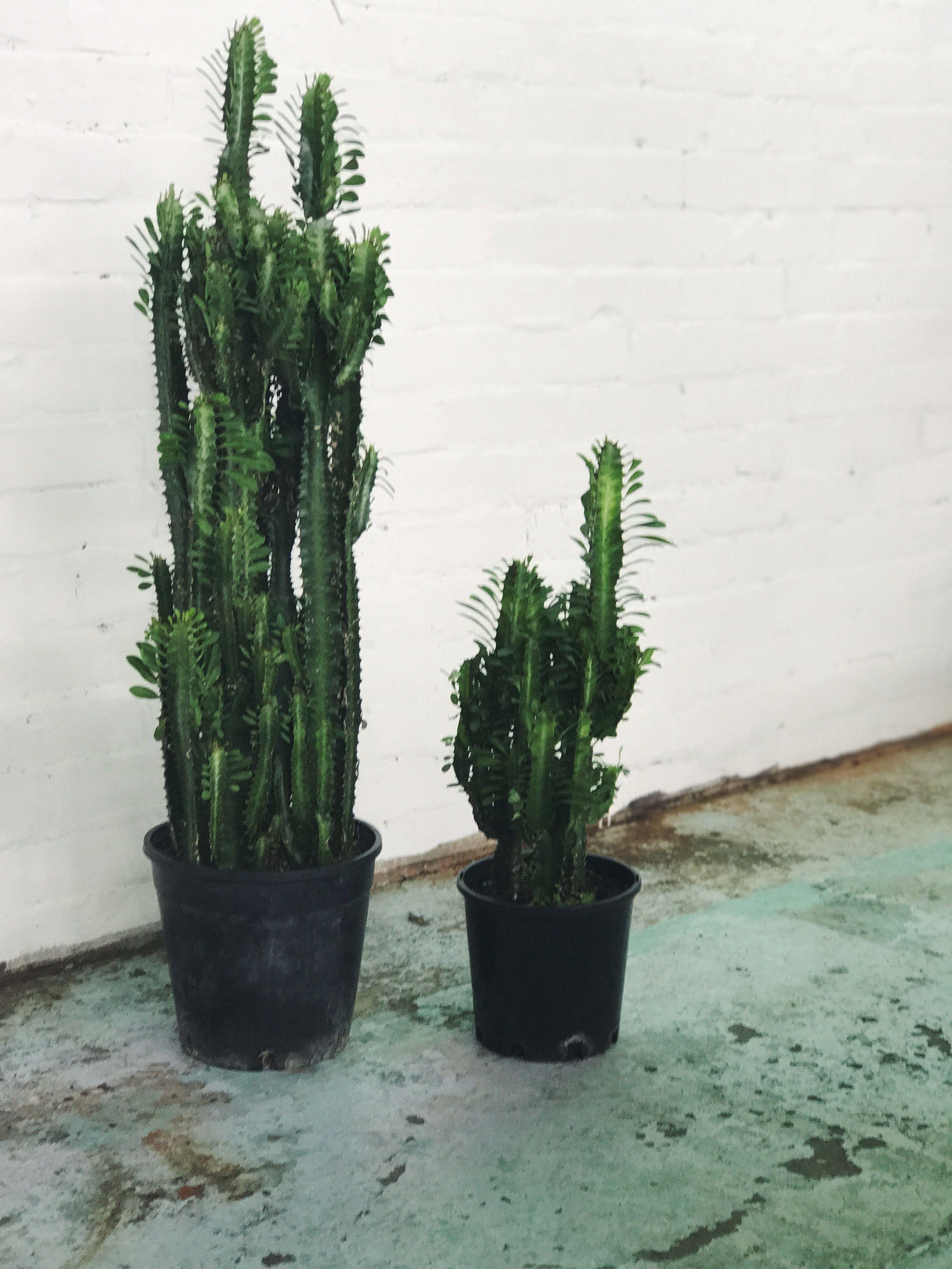 Often mistaken as a cactus, the Euphorbia Trigona is