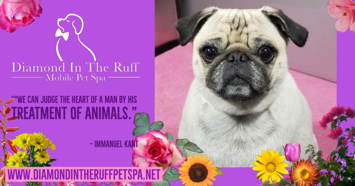 We Love Pugs Pet Spa Dog Grooming Tips Pug Life