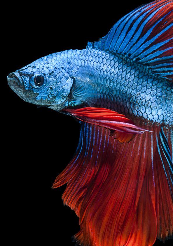 See More Images On Our Gallery Http Www Bettaboxx Com Betta Photos Betta Fish Tattoo Betta Fish Care Betta Fish Betta fish wallpaper gif betta fish my