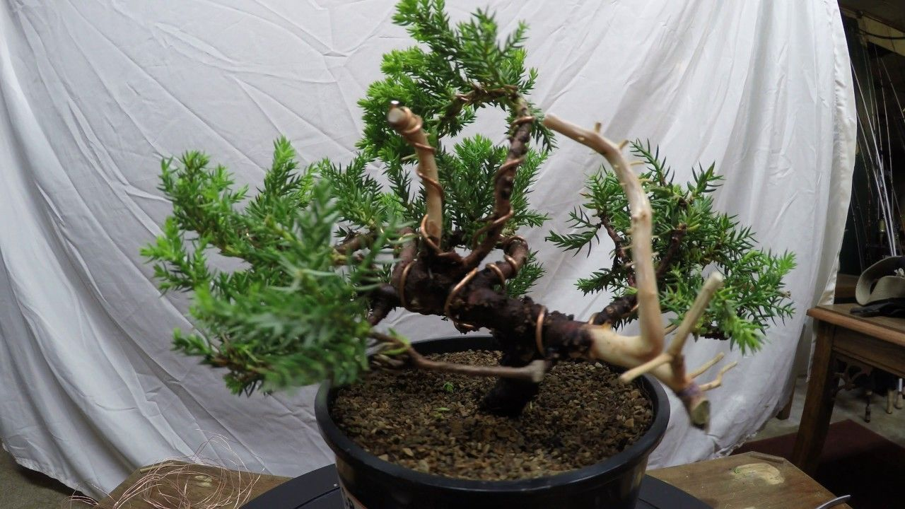 Juniper Specimen Complete Styling From Nursery Stock To Bonsai Tree Wiring For Beginners How Pruning Youtube