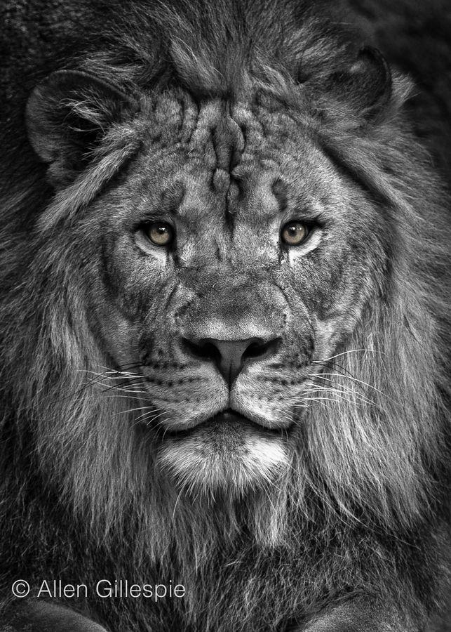 Lion Portrait Thabo King Of Memphis By Allen Gillespie Via