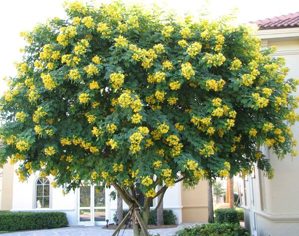 Yellow Crepe Myrtle Tree Name Cassia treejpgViews 5795Size