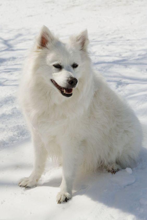 30 excellent american eskimo dog names pictures pinterest