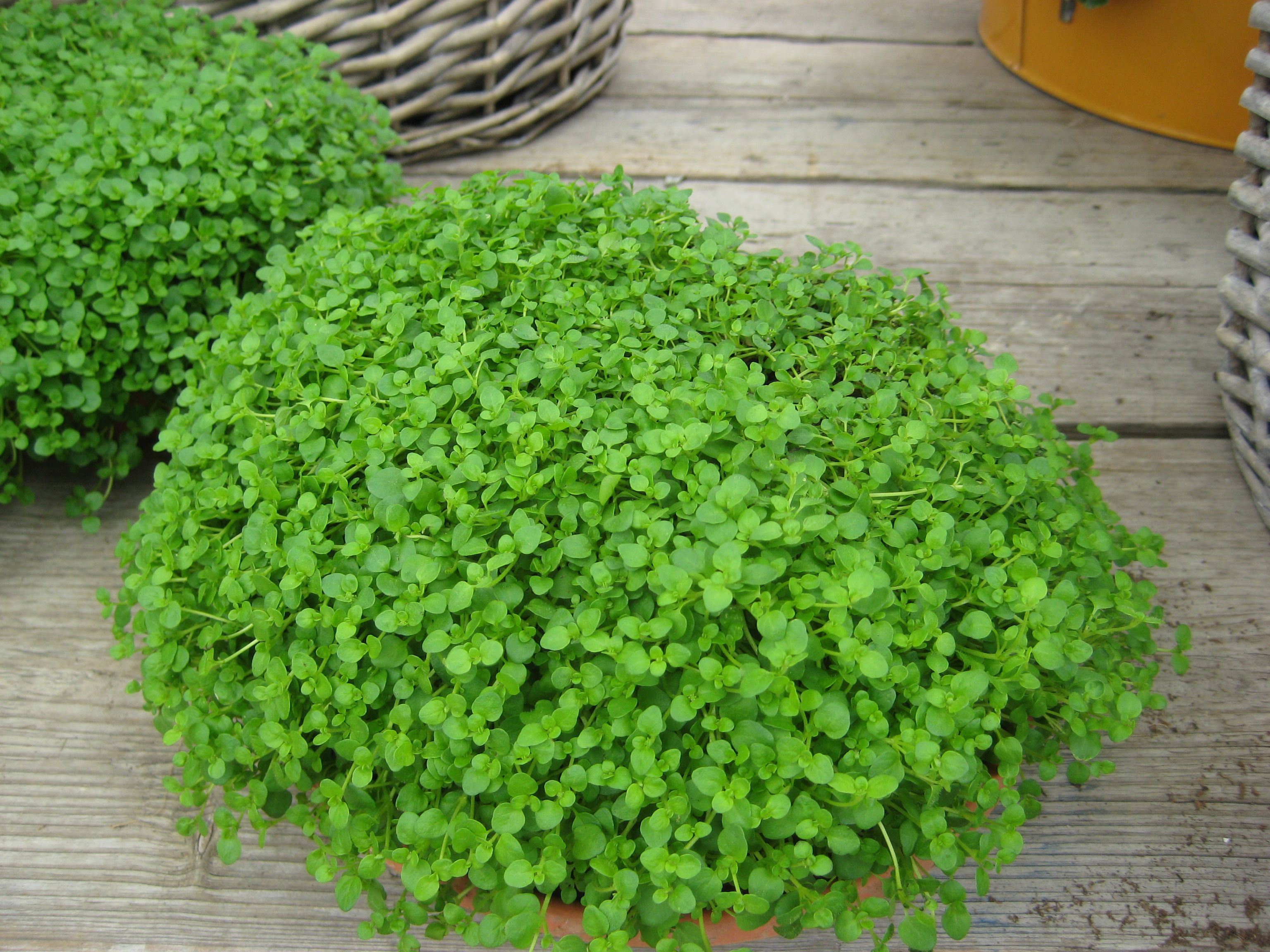 Mini Mint Mentha Requienii Corsican Mint Herbs Seeds Kings Seeds