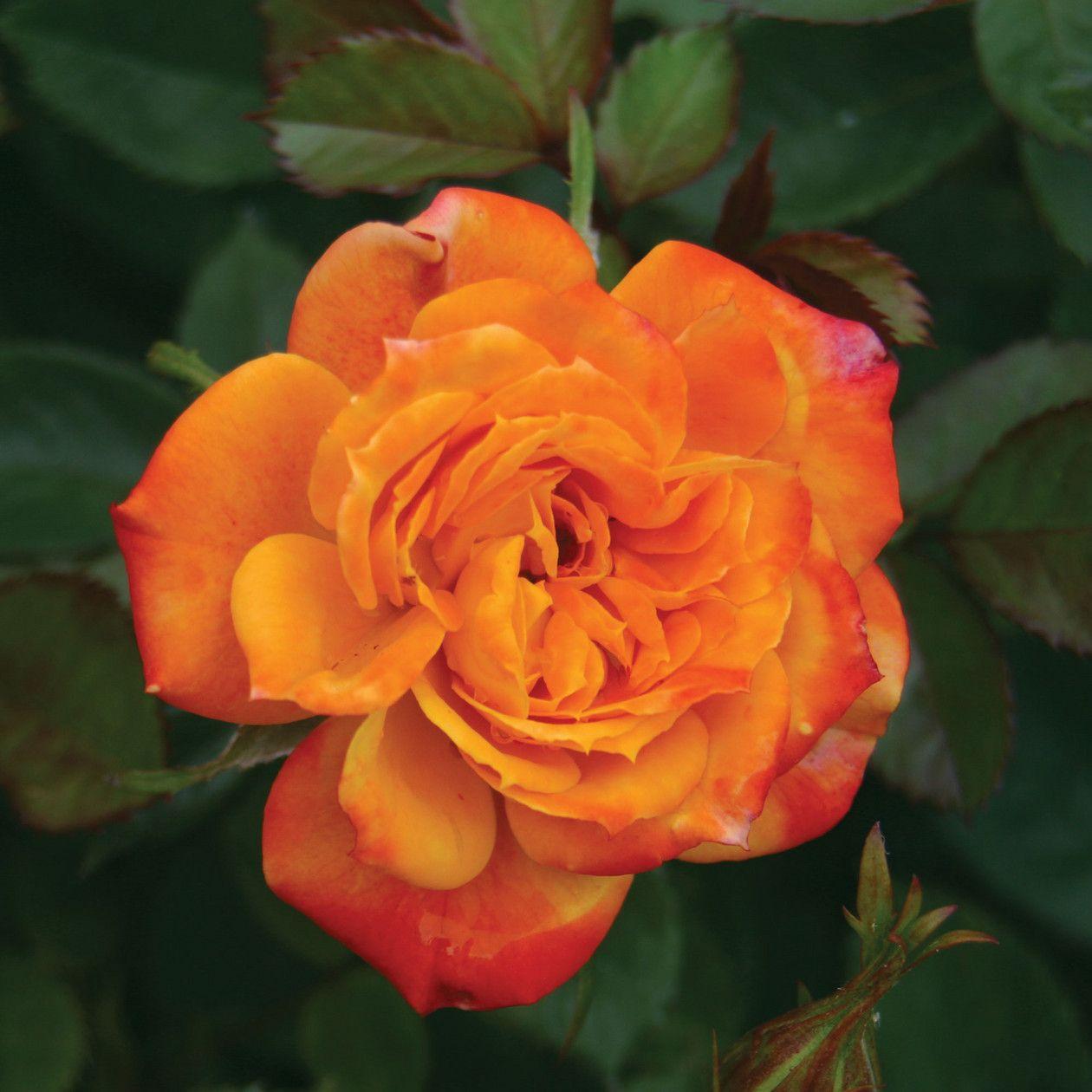 Irish Eyes - Rosa - The Garden Centre Group