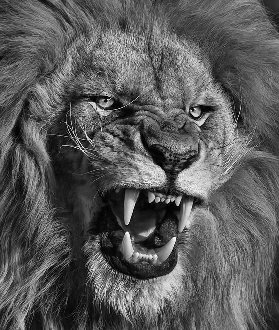 Lion Black And White Imagens Pinterest Lions Tattoo