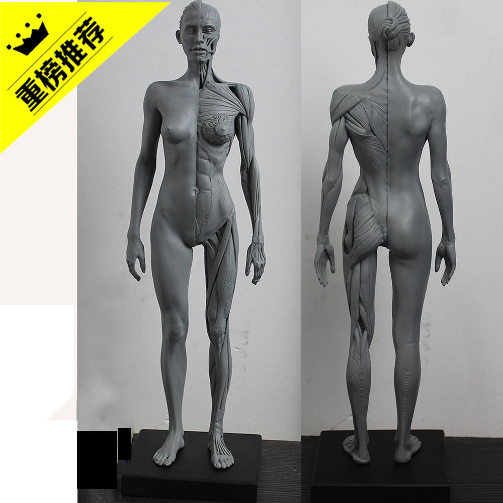 Female anatomy figure model half ecorche That you can buy here: http ...