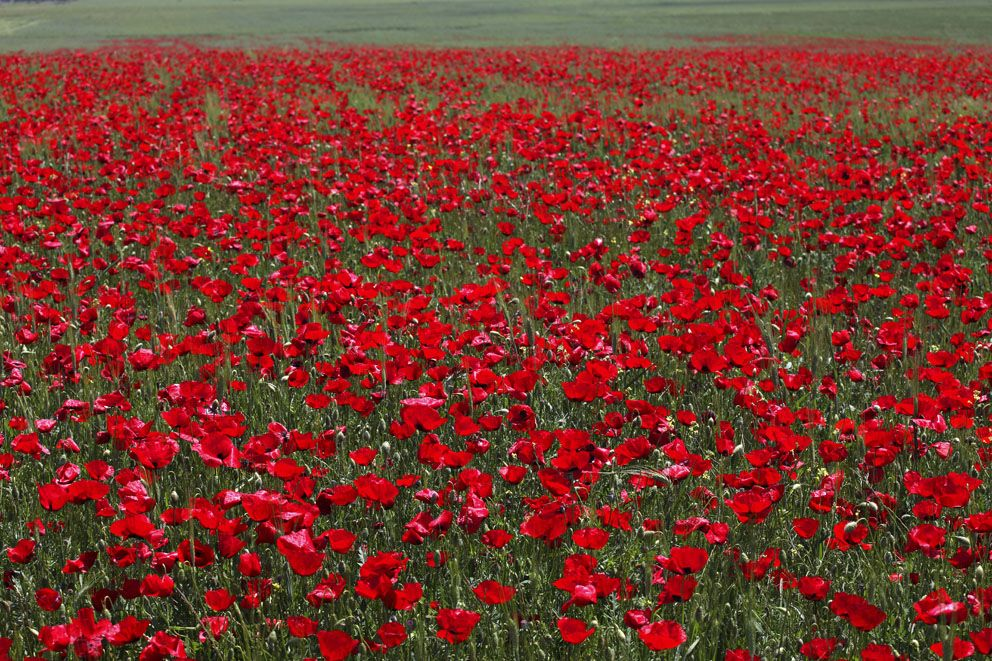 A field of red wild poppies. If poppies are blooming, it's means springtime is in Greece.