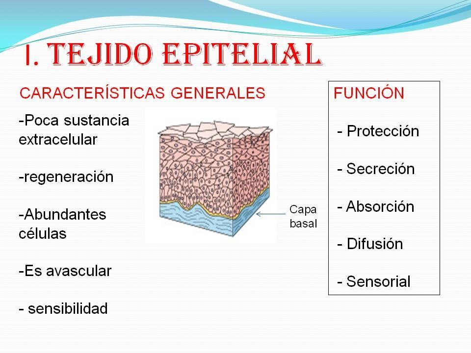 Resultado de imagen para tejidos epitelial | Fisiología Animal ...