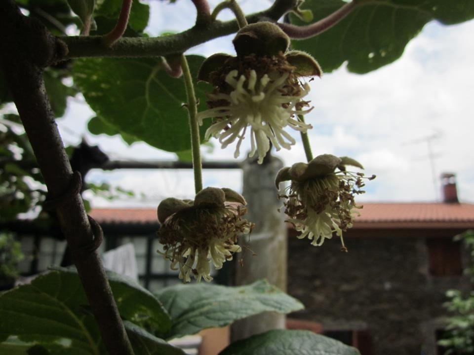 Preciosa flor del Kiwi