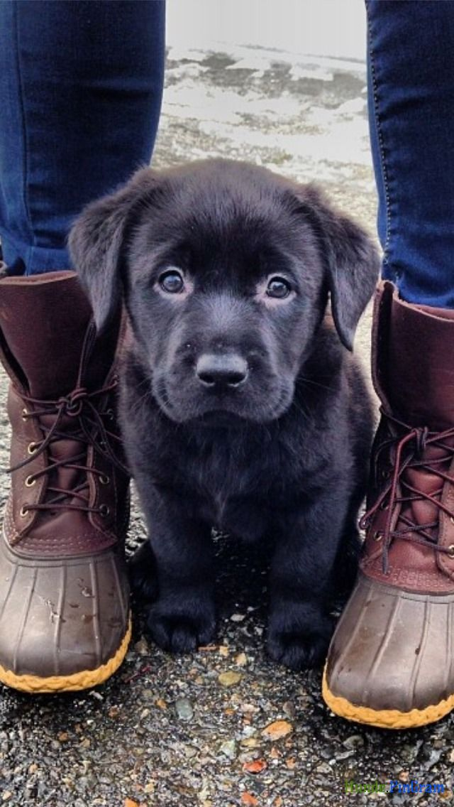 Little does he know...in a few weeks, these boots will be shredded by teeth belonging to the sweet face they now frame! #cutepuppies