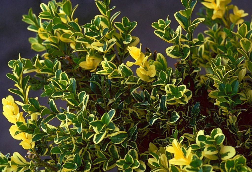 Take 5 Variegated Shrubs Garden Shrubs Full Shade Shrubs Shade Loving Shrubs
