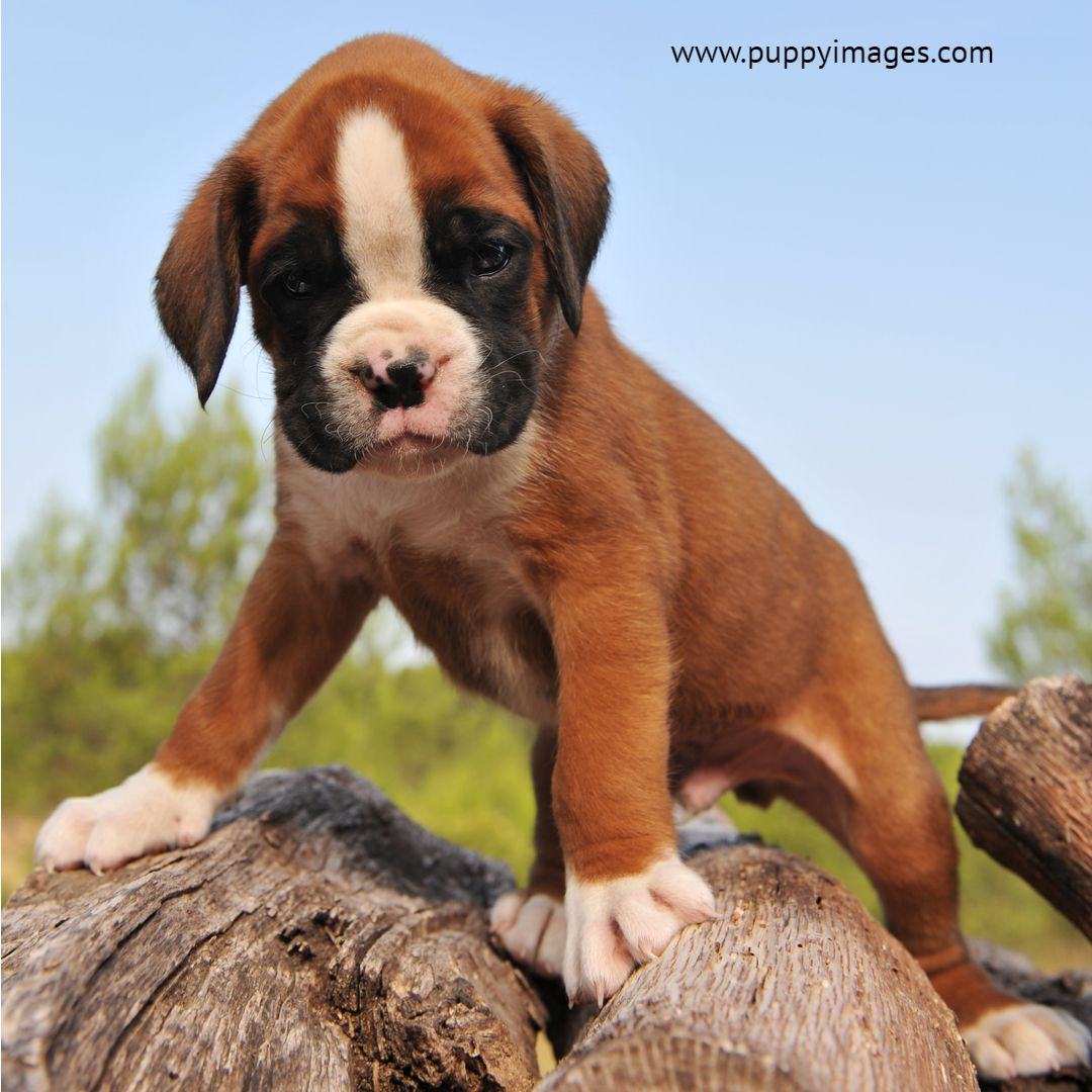 Young Purebred Puppy German Boxer Boxer Puppy Training Boxer Puppies Boxer Puppy