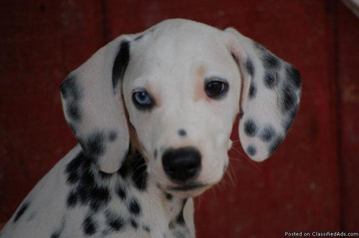 Dalmatian Dogs Dalmatian Puppies For Sale Price 550 00 For Sale In Fayetteville Dalmatian Puppy Puppies For Sale