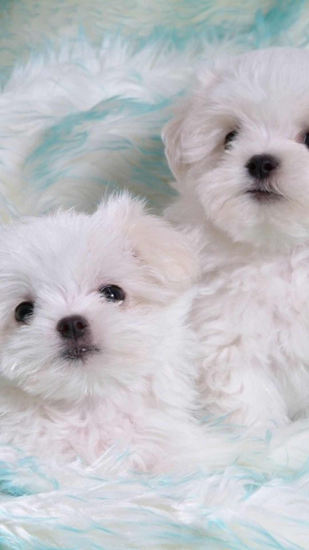 Maltese Puppies Wallpapers 04 Best Free Maltese Puppies Backgrounds For Android Cute Puppies Puppy Backgrounds Puppy Pictures