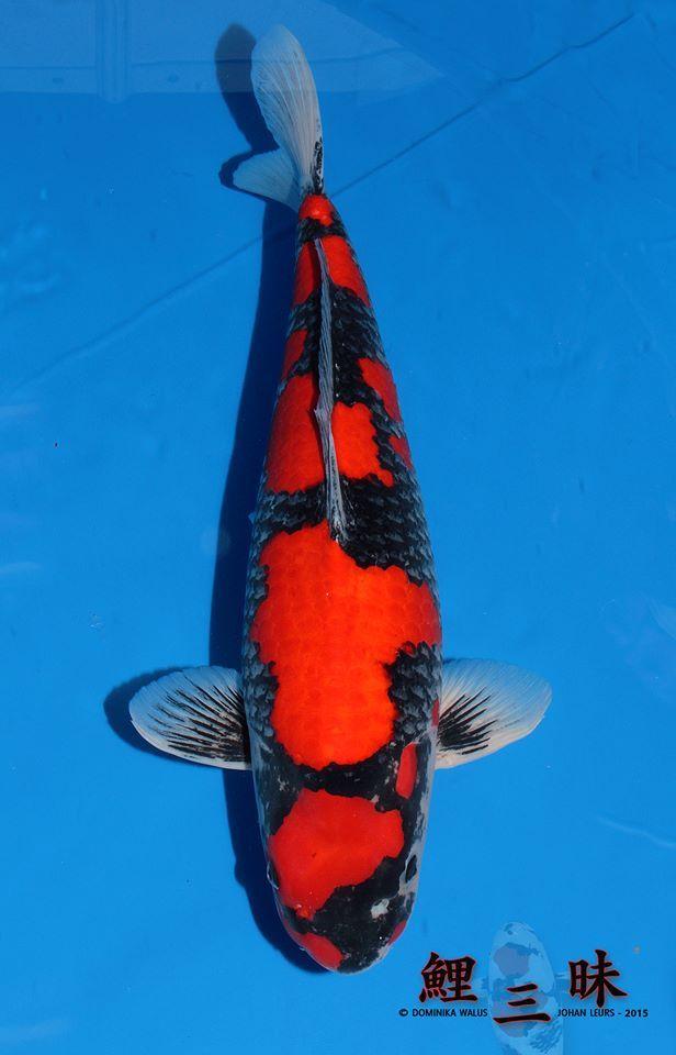 Goshiki   Goshiki koi   Koi, Japanese koi, Fish