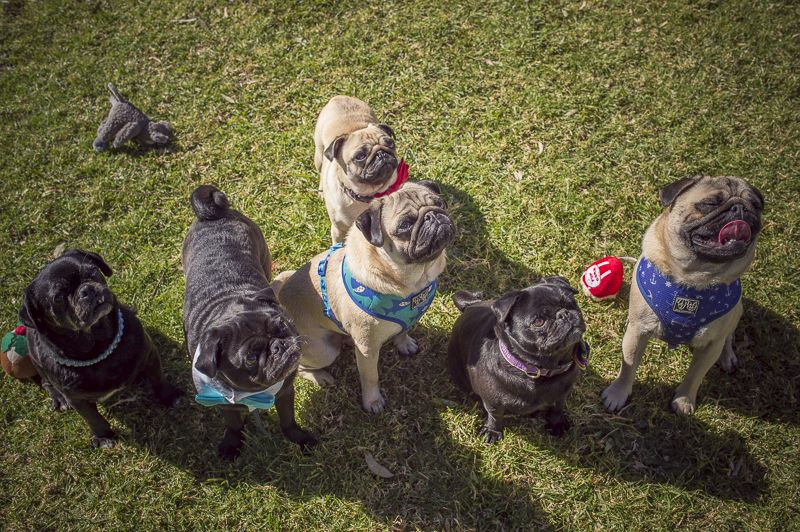 Confessions Of A Pug Mum A Pug Party Dog Bone Pool Pugs Pug Gifs