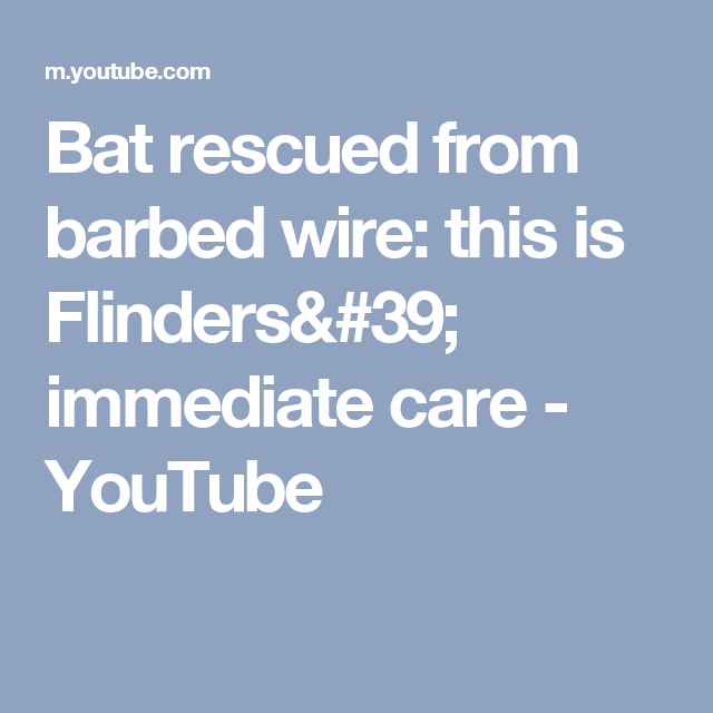 Bat rescued from barbed wire: this is Flinders\' immediate care ...