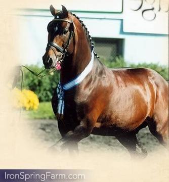 Photo Gallery of Juventus KWPN Stallion