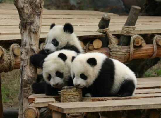 Playing pandas :)