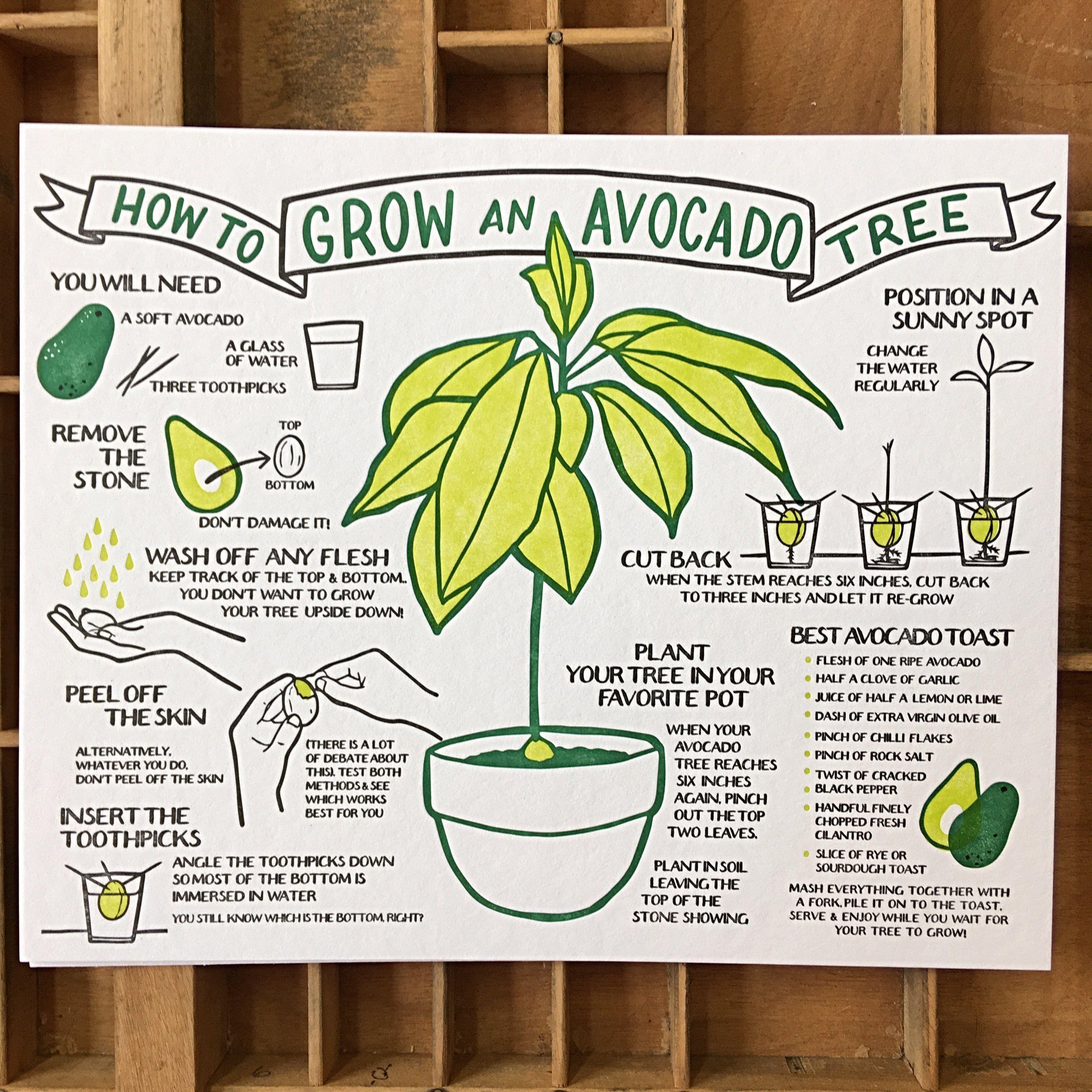 How To Grow An Avocado Tree Broadside