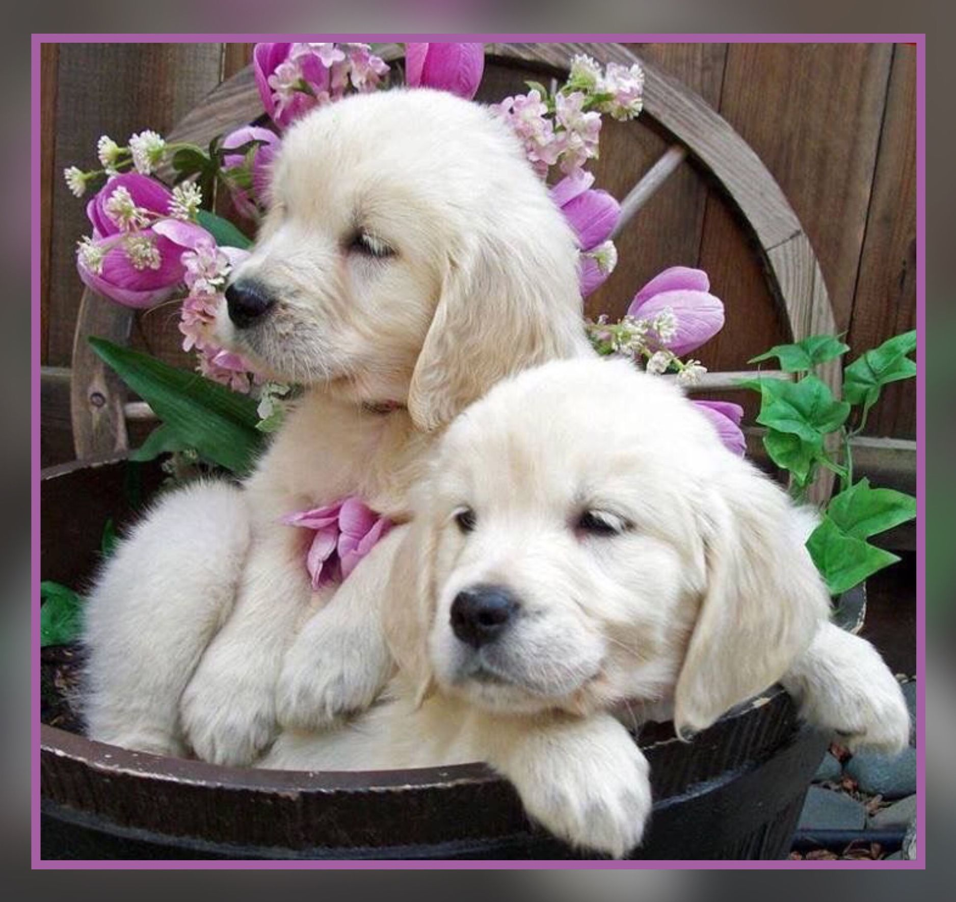 Pin by Michelle Thompson on animals Retriever puppy