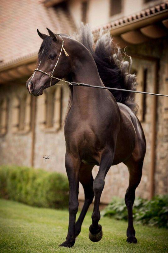 Al Novar VO  (Al Maraam x Afire Chime VO ) Arabian stallion  © April Visel