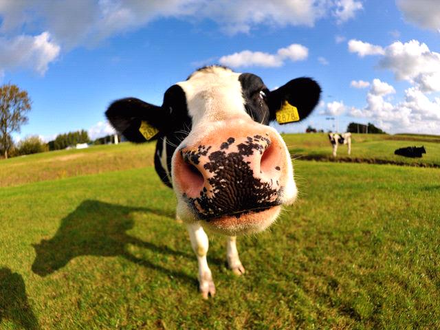MOO!!! Cute cows, Cow wallpaper, Cute animals