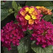 Bandana Cherry Lantana Live Plant 2 5 Inch Pot With Images Lantana Plant Plants Flower Garden