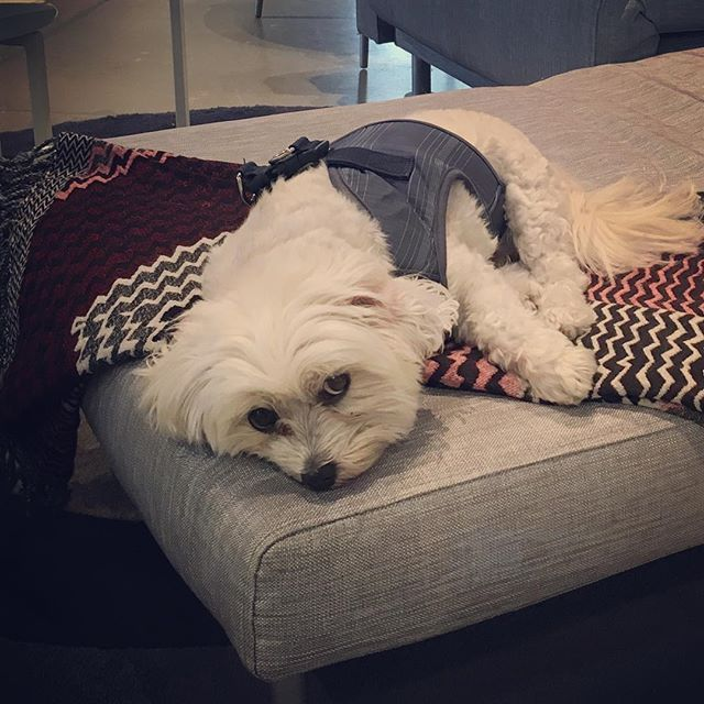 Walter Relaxing On The Cool Vibrant Zigzag Throw Boconceptsf Boconcept Boconceptusa Sfdesigndistrict Photooftheday Photo And Video Boconcept Instagram