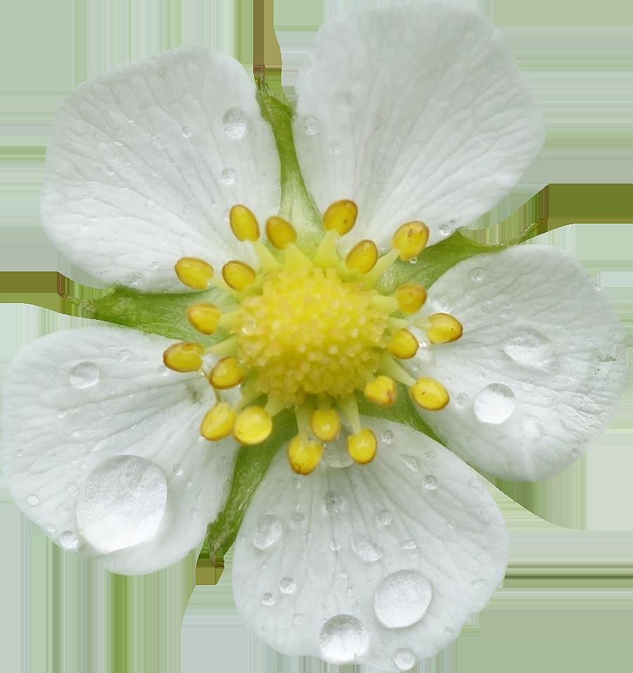 Populaire Fleurs détourées au format PNG Libres de Droits gratuites  SH19