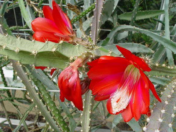 Disocactus speciosus1MTFL.jpg
