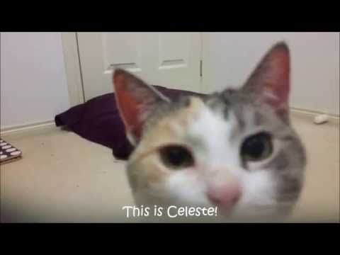 Clicker training my cat to 'Beg'. - YouTube