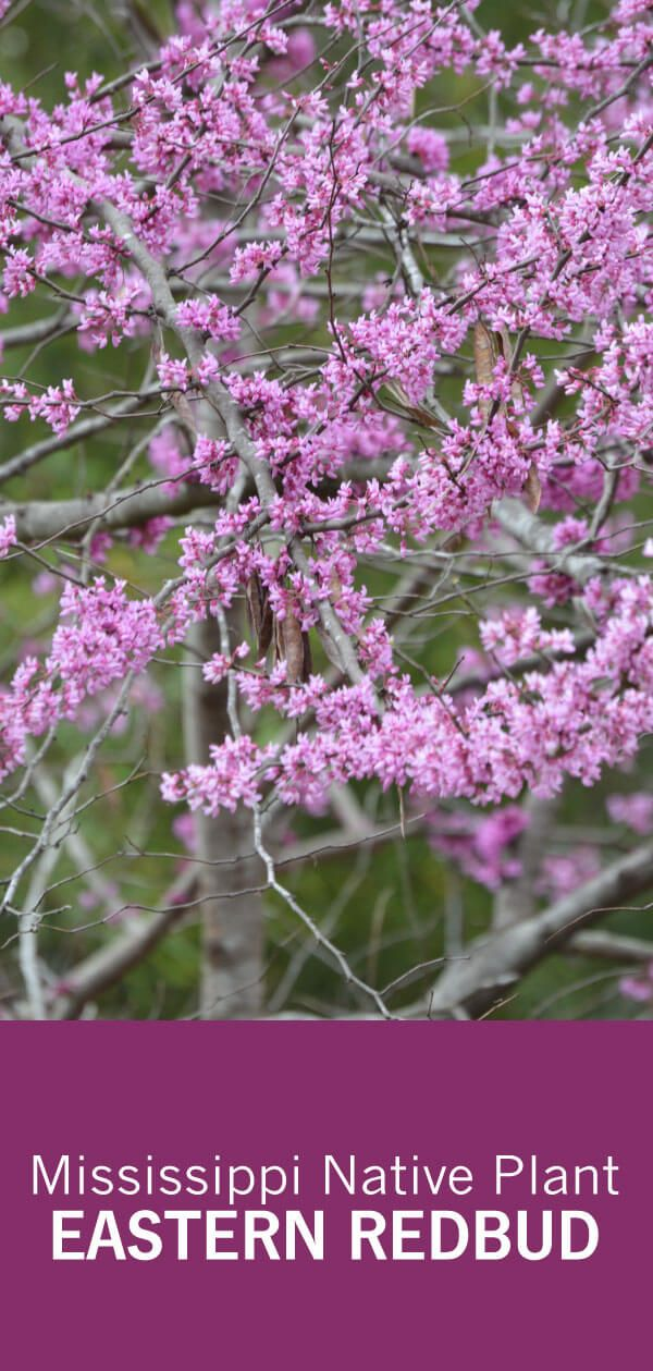 The Pink Flowers Of The Native Eastern Redbud Tree Are A Sign That Spring Is Coming Redbuds Bloom February Apri Redbud Tree Eastern Redbud Eastern Redbud Tree