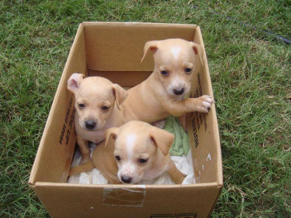 5 Week Old Chiweenies Dog Id Pets