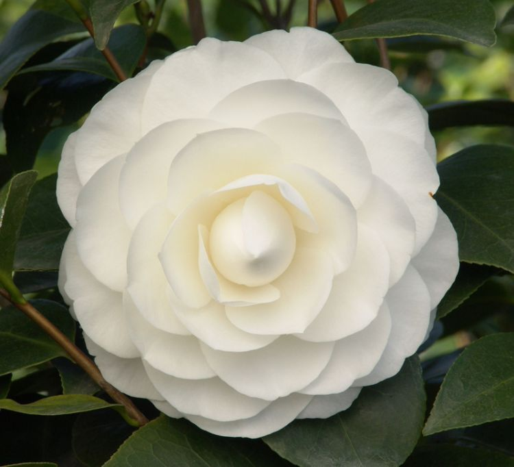 Camellia Japonica White Swan Kelways Perfect Plants Camellia Flower Plants